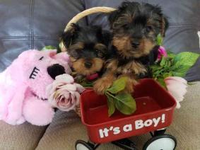 Yorkie Puppies for adoption../