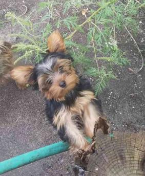+**Yorkshire Terrier Puppies Available