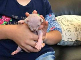 Healthy male and female Sphynx kittens Seeking new