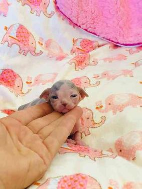 Beautiful Sphynx Kittens for Adoption