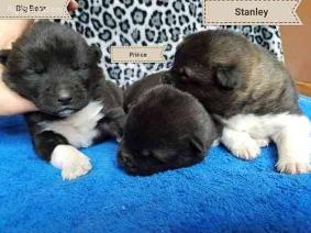 AKC register Akita puppies for sale
