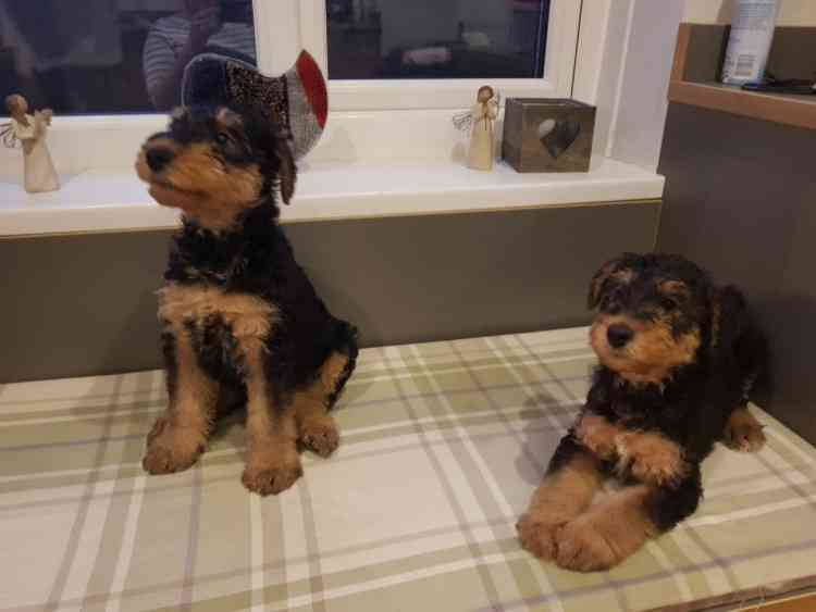 Los Angeles Both Airedale Terrier Puppies For Sale Airedale Terriers
