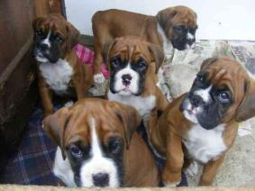Reg Deep Red Boxer Puppies Ready Now
