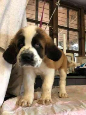 Litter Of AKc Reg St. Bernard Pups Ready Now