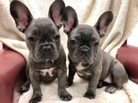 Blue AKc Reg Girl French Bulldog Puppies