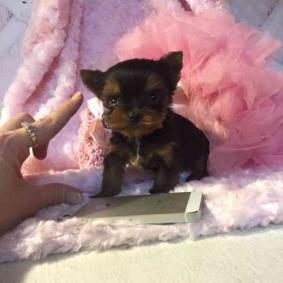 Beautiful Yorkie puppies for adoption.