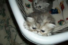 Persian Kittens And Adult Females For Sale