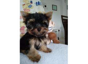 Beautiful Yorkie Puppies For Adoption