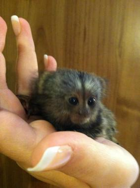 Baby Marmoset Monkeys Ready To Go