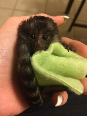 Cute And Adorable Baby Marmoset Monkeys
