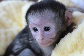 Top Quality Baby Capuchin Monkeys Text 2349004054