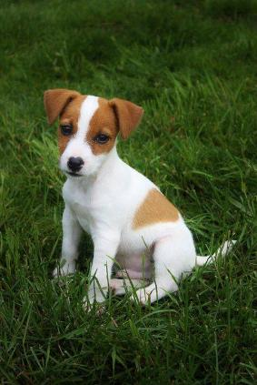 Beautiful Jack Russell Terrier Puppies Available