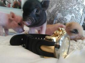 Teacup Designer Piggys True Small Size Quality N Goats