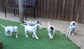 Akc Dalmatian Puppies