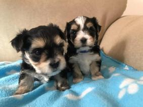 Yorkie Puppies Male And Female 11 Weeks Ready For A New Home