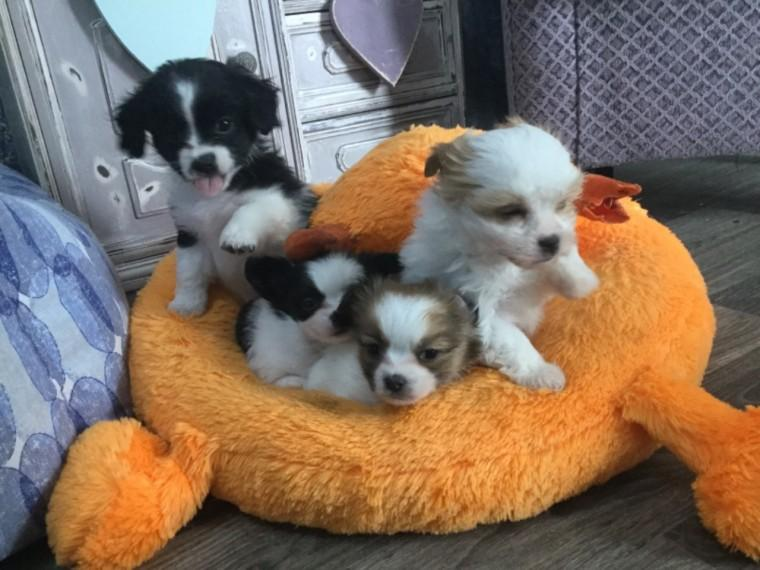 Tulsa : Adorable Sweet And Calm Havanese Puppies Havanese