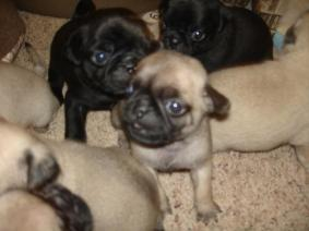 Playful Pug Puppies For Sale