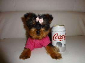 Two Tiny Toy Yorkie Terrier