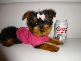 Yorkie Terrier Ready Male And Female