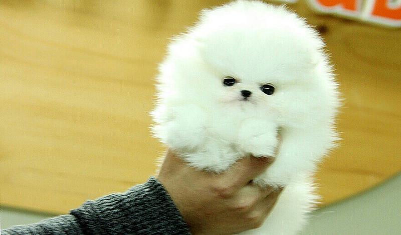 Houston Pure White Pomeranian Puppies For Adoption Pomeranians