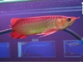 Healthy Arowana And Fresh Water Stingray Fishes For Sale