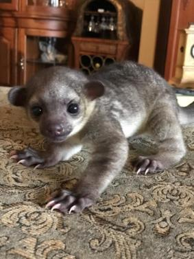 Kinkajou Babies Male And Female
