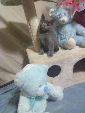 Male Russian Blue Kitten With Double Paws