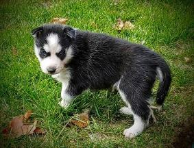 Akc Registered Siberian Husky Pups