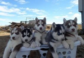 8 Beautiful Husky Puppies