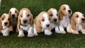 Basset Hound Pups For Sale
