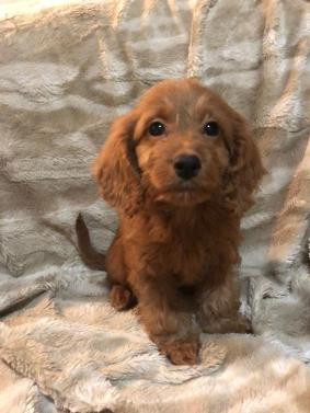 Gorgeous Cockapoo Puppies For Sale