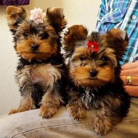 Yorkie Pup Loves Kids And Great With Other Dogs