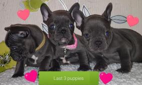 Solid Blue French Bulldog Puppies For Xmas