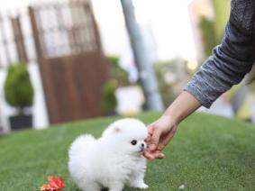 Pomeranian Puppy Ready For New Home