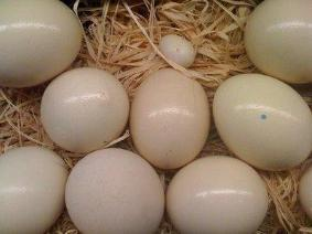 Parrots And Parrots Eggs For Sale