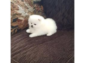 Tiny Male Pomeranian Puppy For Xmas