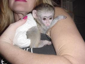 Male And Female Capuchin And Marset Monkeys Available