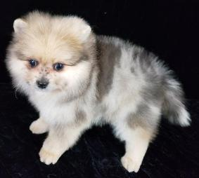 pomeranian Puppies 10 Weeks 3 Days Old