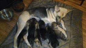 Full Blooded German Shepherd Puppies Just In Time For Christ