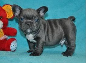 Christmas Blue French Bulldog Puppies