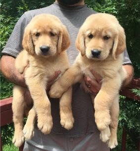 Christmas And New Year Golden Retriever Puppies Available