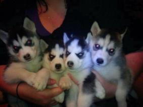 Pomsky And Siberian Husky Puppies For Adoption