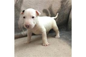 Bull Terrier Puppies For Adoption