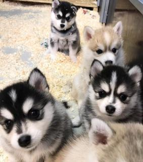 Pomsky And Siberian Husky Puppies