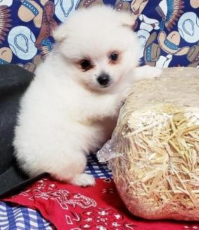 Pomeranian Puppies For Sale Now