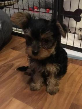 Yorkshire Terrier Puppies Now Ready For Sale