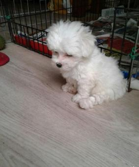 Cute X Mass Maltese Puppies For Re Homing