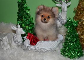 Toy Pomeranian Purebred Puppies