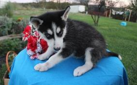 Pure Breed Siberian Husky Puppies