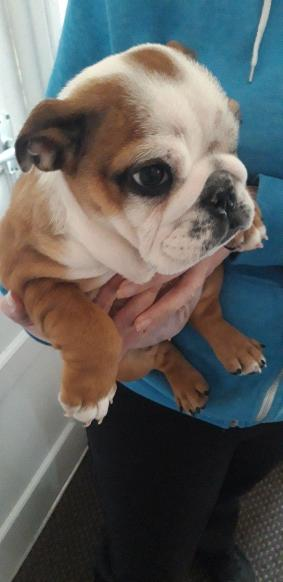 Top Quality English Bulldog Puppies 2 Available